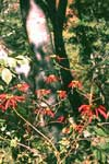 Habit of wild Poinsettia
