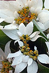 "inflorescences of Euphorbia cornastra, the ""dogwood poinsettia"""